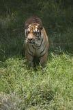 Portret chodzący męski dziki tygrys Zdjęcia Stock