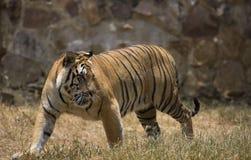 Portret chodzący męski dziki tygrys Zdjęcie Stock