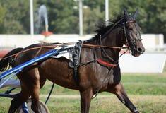 Portret ciemny podpalanego konia kłusaka traken w ruchu na hipodromu zdjęcie stock