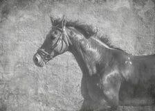 Portret ciemny sporta koń w ruchu na wolności W czarny i biały artystycznym traktowaniu zdjęcie stock