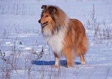 Portret collie na śnieżnym tle Obraz Stock