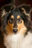 Portret collie pies zdjęcia royalty free