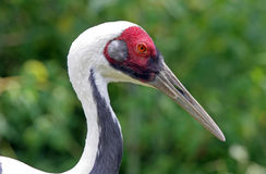 portret crane naped white Zdjęcia Royalty Free