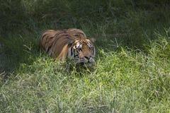 Portret czaić się męski dziki tygrys Fotografia Royalty Free
