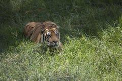 Portret czaić się męski dziki tygrys Zdjęcie Stock