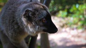 Portret czarna lemura Eulemur macaco aka samiec przy drzewem, Atsinanana region, Madagascar fotografia stock