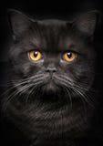 portret czarnego kota Obraz Stock