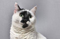 portret czarnego kota, white zdjęcie royalty free