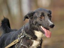 Portret czarno biały nie purebred pies. Obraz Royalty Free