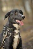 Portret czarno biały nie purebred pies. Obrazy Stock