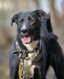Portret czarno biały nie purebred pies. Zdjęcie Royalty Free