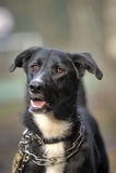 Portret czarno biały nie purebred pies. Fotografia Stock