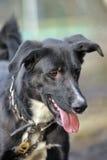 Portret czarno biały nie purebred pies. Fotografia Royalty Free