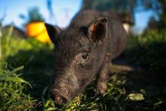 Portret czarny świniowaty patrzejący kamerę Obraz Royalty Free
