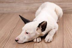 Portret czarny i biały pies, nędzny za domem Smutny psi czekanie dla właściciela obrazy royalty free
