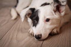 Portret czarny i biały pies, nędzny za domem Smutny psi czekanie dla właściciela obrazy stock