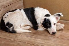 Portret czarny i biały pies, nędzny za domem Smutny psi czekanie dla właściciela zdjęcie royalty free