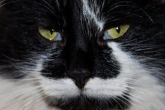Portret czarny i biały puszysty kota zakończenie Obrazy Stock