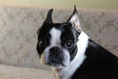Portret czarny i biały pies Obraz Stock