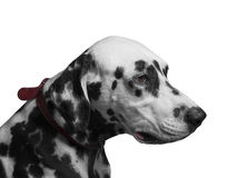 Portret czarny i biały psi traken Dalmatyński Fotografia Royalty Free