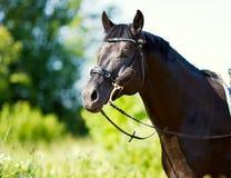 Portret czarny koński zakończenie na tle trawa Zdjęcia Stock