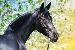 Portret czarny koń w wiosna ogródzie Zdjęcia Royalty Free