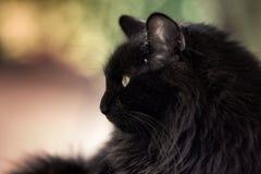 Portret czarny kot fotografia stock