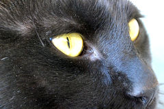 Portret czarny kot z żółtymi oczami Zdjęcie Stock