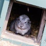 Portret czarny królik doświadczalny Fotografia Royalty Free