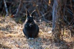 Portret czarny królika obsiadanie na trawie w naturalnym environ zdjęcie royalty free