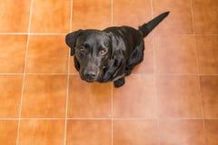 Portret czarny labrador patrzeje kamerę Widok Od Ab Zdjęcie Royalty Free