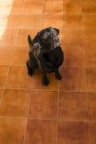 Portret czarny labrador patrzeje kamerę Widok Od Ab Fotografia Royalty Free
