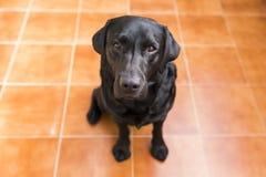 Portret czarny labrador patrzeje kamerę Widok Od Ab Obraz Stock