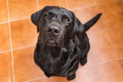 Portret czarny labrador patrzeje kamerę Widok Od Ab Fotografia Stock