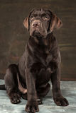 Portret czarny labradora pies brać przeciw ciemnemu tłu Obrazy Stock
