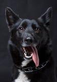 Portret Czarny pies Zdjęcia Royalty Free