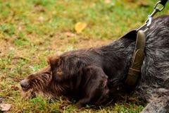 Portret czarny pies z smyczem obrazy royalty free