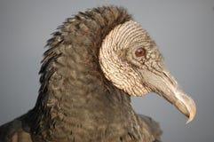 Portret Czarny sęp, błota, Floryda Obraz Stock