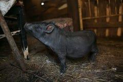 Portret czarny świnia Obraz Stock