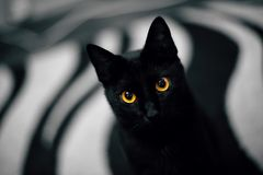 Portret czerń przyglądający się kot Zdjęcie Stock