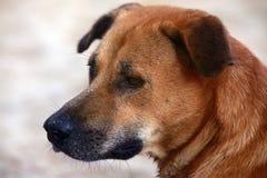 Portret czerwieni pies Zdjęcie Royalty Free