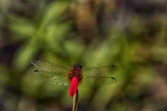 Portret czerwona ogoniasta smok komarnica fotografia royalty free