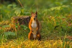 Portret czerwona wiewiórka przed białym tłem obrazy royalty free