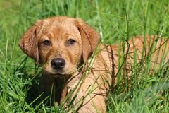 Portret Czerwonego Fox Labrador Retriever ciucia w wysokiej trawie fotografia stock