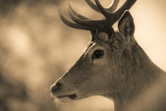 Portret Czerwonego rogacza jeleń zdjęcia stock