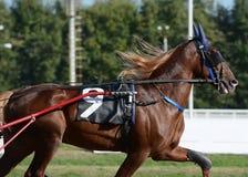 Portret czerwony koński kłusaka traken w ruchu na hipodromu zdjęcia stock