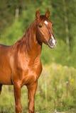 Portret czerwony koń w naturze Fotografia Royalty Free