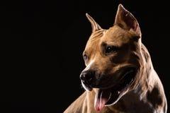 Portret A czerwony pit bull na czarnym tle obrazy royalty free