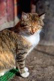 Portret czerwony wiejski kot Zdjęcie Stock