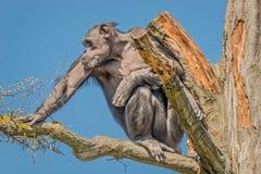 Portret czujny dorosły szympansa obsiadanie na drzewie przy niebieskim niebem zdjęcia stock
